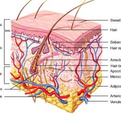 Skin Layers Diagram Labeled Simple Simplex Duct Detector Wiring System Diagramskin Barca Fontanacountryinn Com