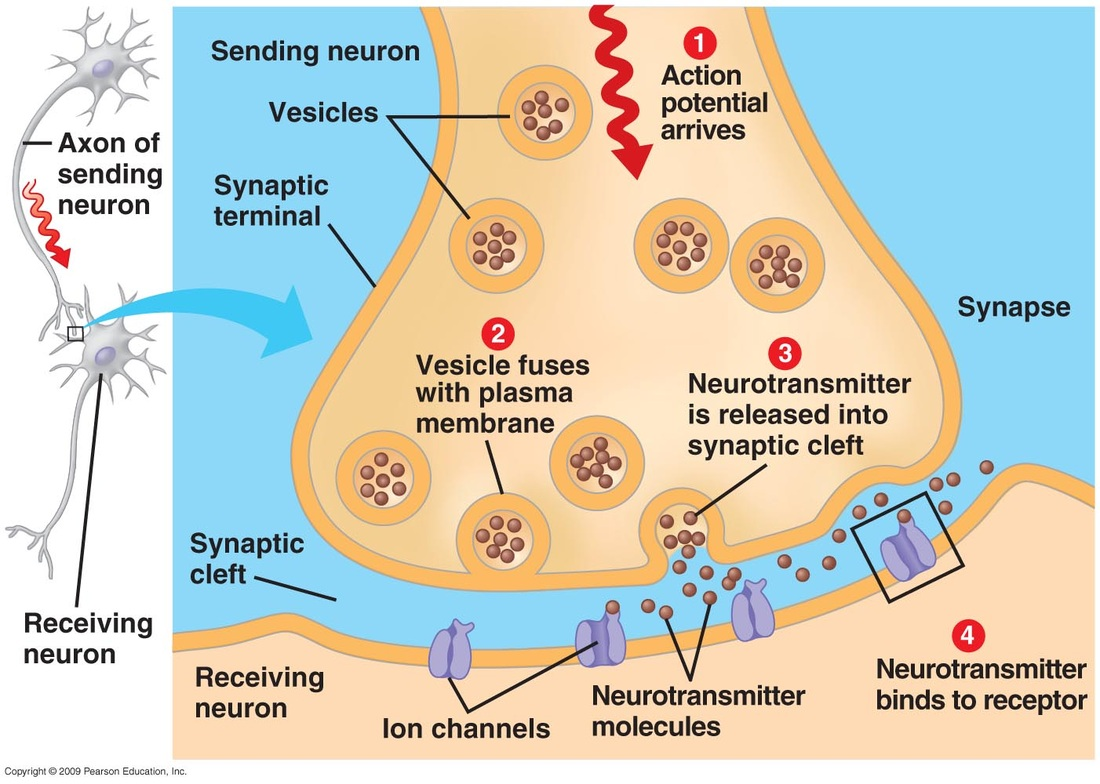 synapse diagram label wiring for motor control circuit nervous system bergenology a tool anatomy and