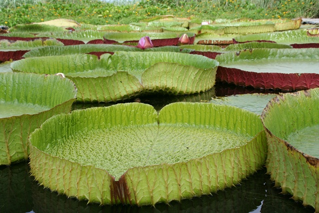 Aquatic Pond Plants Sale