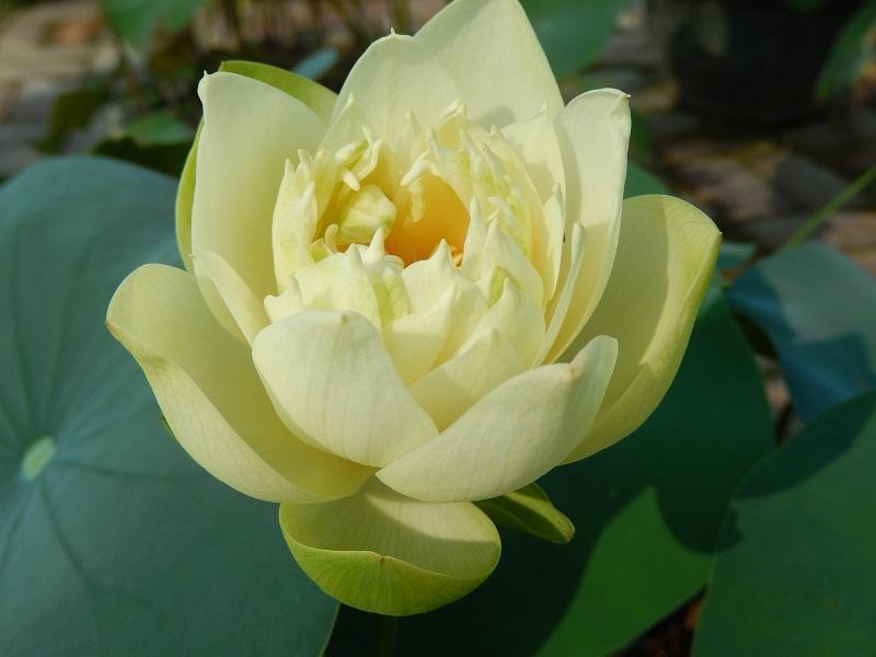 Lotus Pond Plants Sale