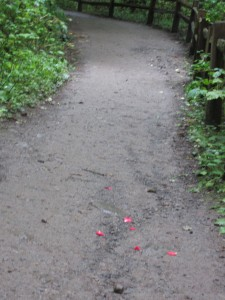 rose petals on path