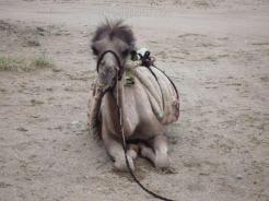 05-und-anschliessend-auf-die-kamele-verladen