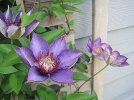 A beautiful spring clematis from the studio garden.