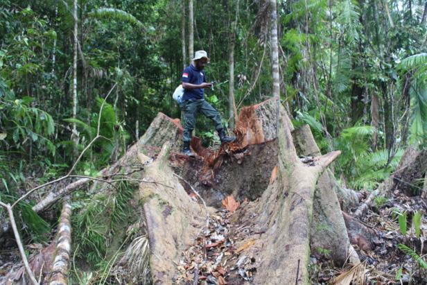 Komisaris CV SBM Sebagai Tersangka Illegal Logging