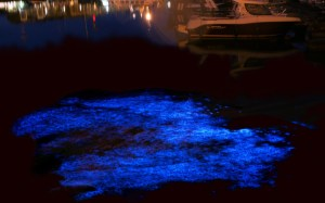 Noctiluca scintillans, a species of bioluminescent dinoflagellate, in Belgium. Hans Hillewaert, Creative Commons.