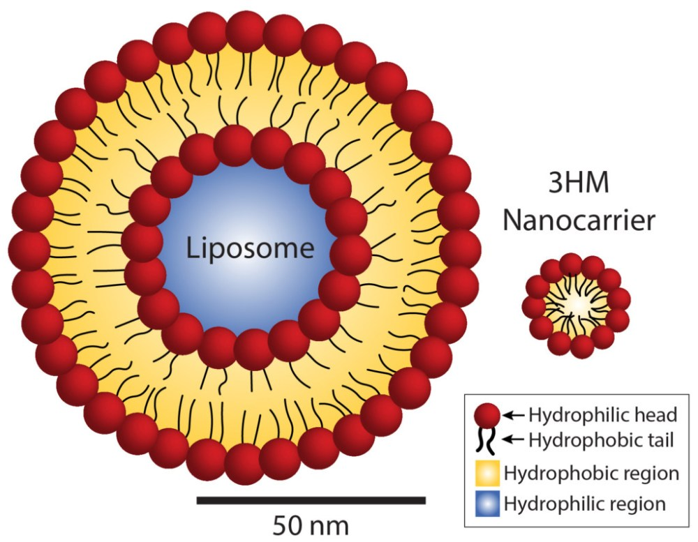 Size comparison of liposomes and 3HM nanocarriers. Whereas liposomes contain two layers of fat molecules, 3HM nanocarriers contain only one layer, allowing them to be much smaller. This compact size makes them more advantageous as drug carriers for cancer therapy.