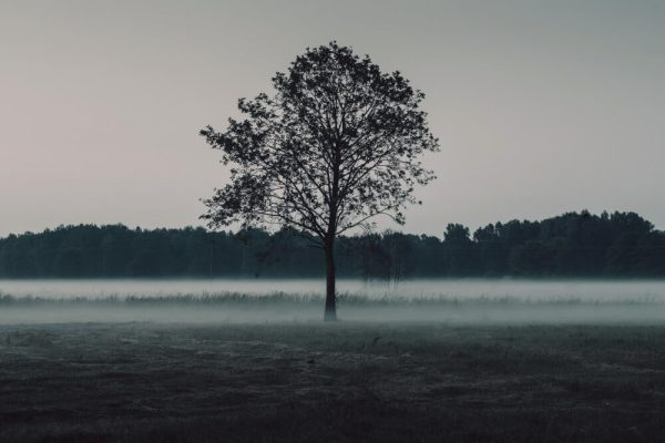 A lone tree in a field with low fog