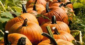 pumpkin patch surrey, crockford bridge farm pumpkins, pumpkin picking surrey, where to buy pumpkins surrey