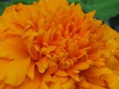 Local Chrysanthemum Show