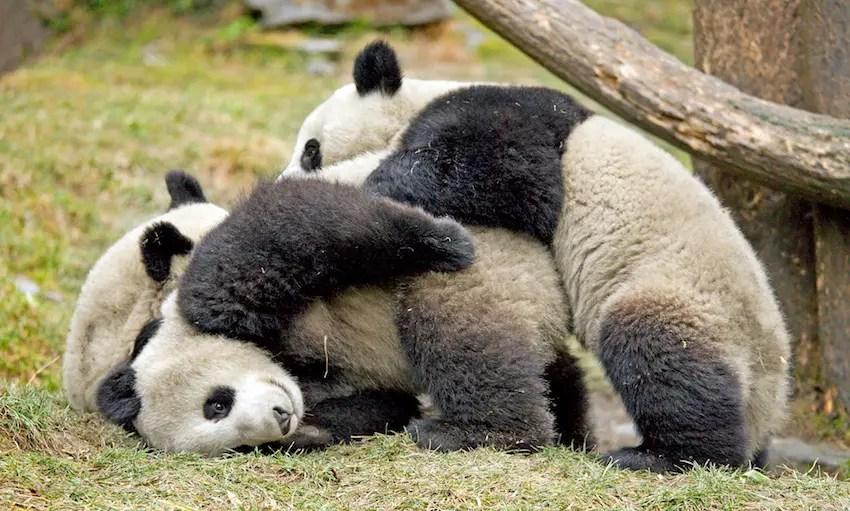 Panda porno filmovi