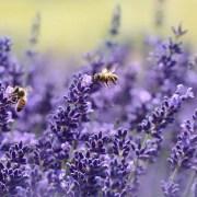 Azioni contro il cambiamento climatico, castleguard, https://pixabay.com/it/photos/lavanda-ape-estate-viola-giardino-1537694/ CC0