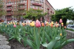 """Tulpenpracht in der """"Gleim-Oase"""""""