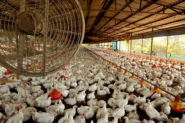 Produção de frangos
