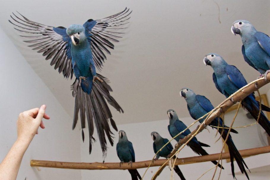 Ararinha-azul será reintroduzida no Brasil - ICMBio e ONG alemã - Bernadete Alves