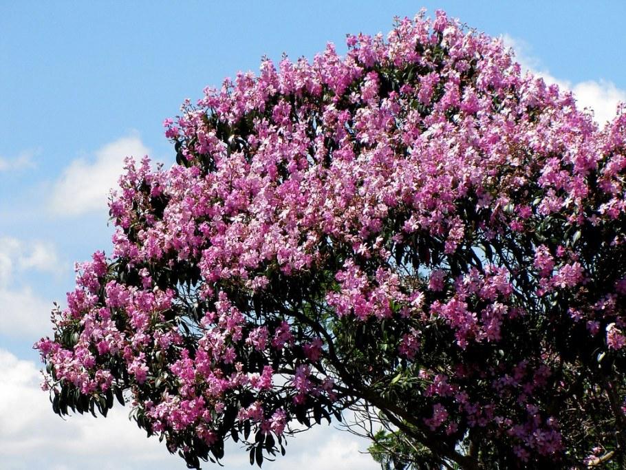 Quaresmeira - A flor que anuncia a Páscoa - Bernadete Alves