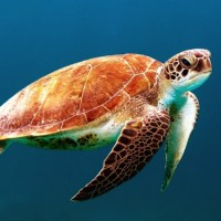 Dia Mundial da Tartaruga: conhecer para proteger