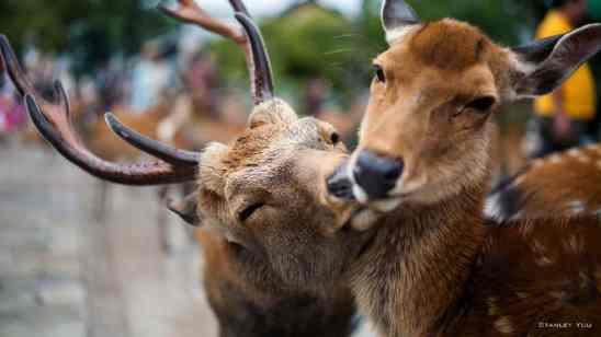 O amor dos Cervos