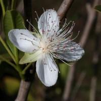Cereja do Rio Grande: atrativa e com potencial medicinal