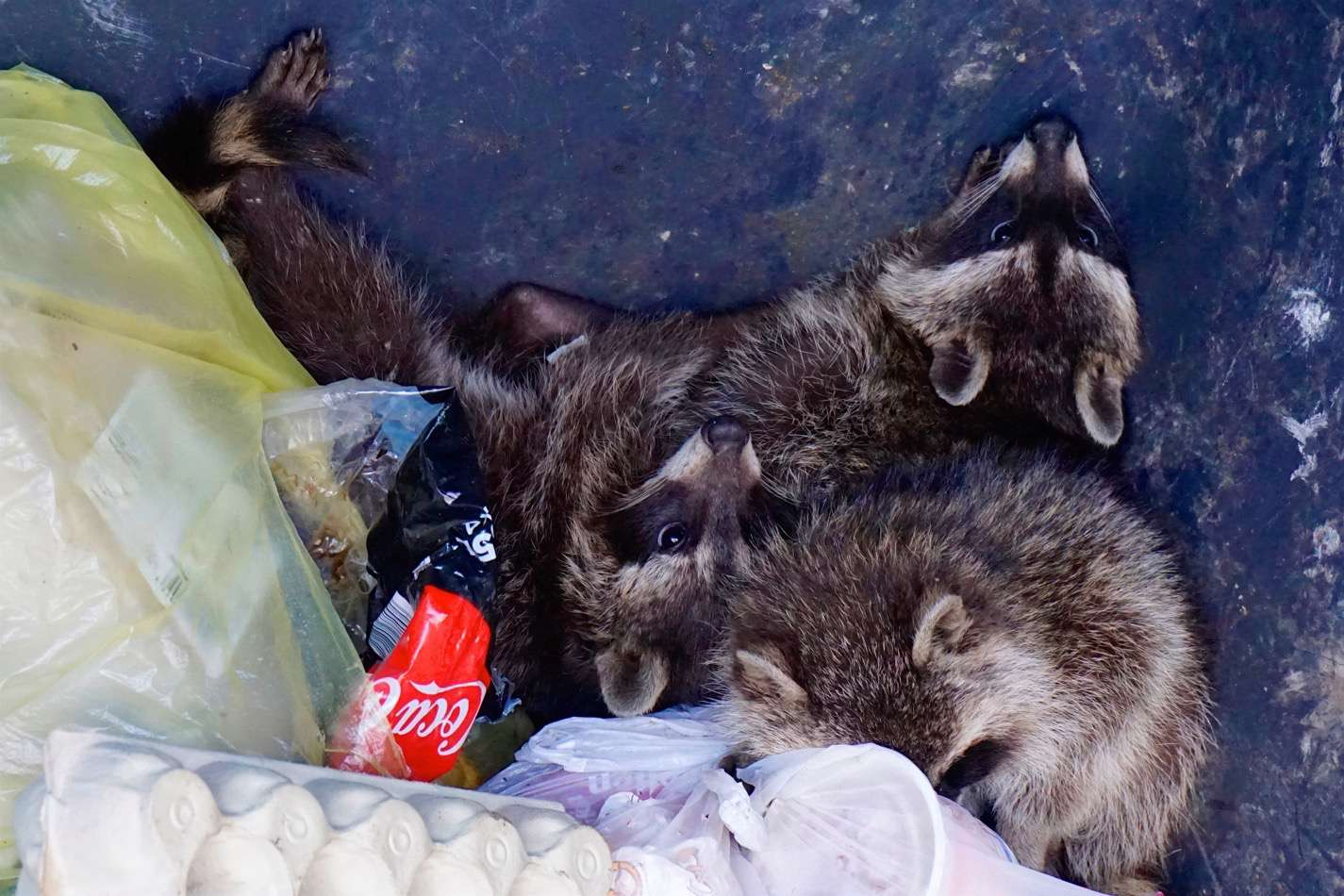 140f94ffb4c06b Feuerwehr Bernau befreite Waschbären-Kinder aus misslicher Lage