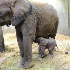 Kleiner Elefant: Ein Geschenk für die Händelstadt Halle