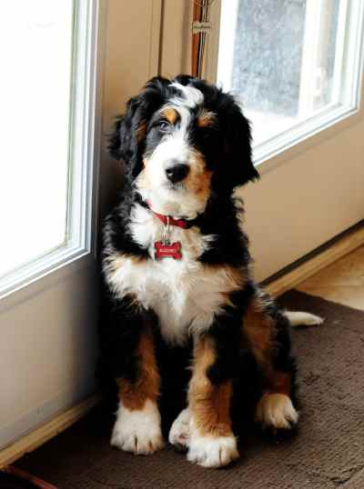Full Grown Bernedoodle : grown, bernedoodle, Bernedoodle:, Comprehensive, Guide, Miniature, Bernedoodle, Bernese