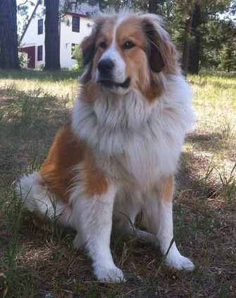 Bernese Mountain Dog Australian Shepherd Mix For Sale : bernese, mountain, australian, shepherd, Bernese, Mountain, Great, Pyrenees, Excellent, Guard, Companion