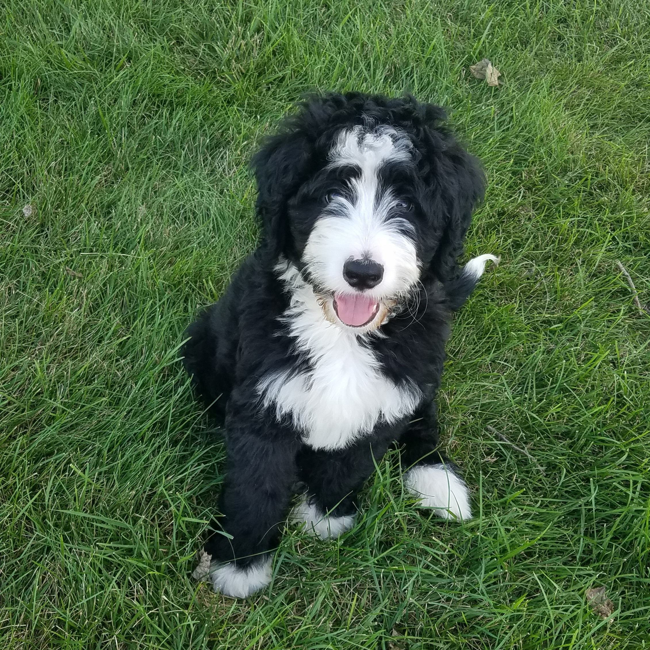 Standard Bernedoodle Puppies Archives Bernedoodles