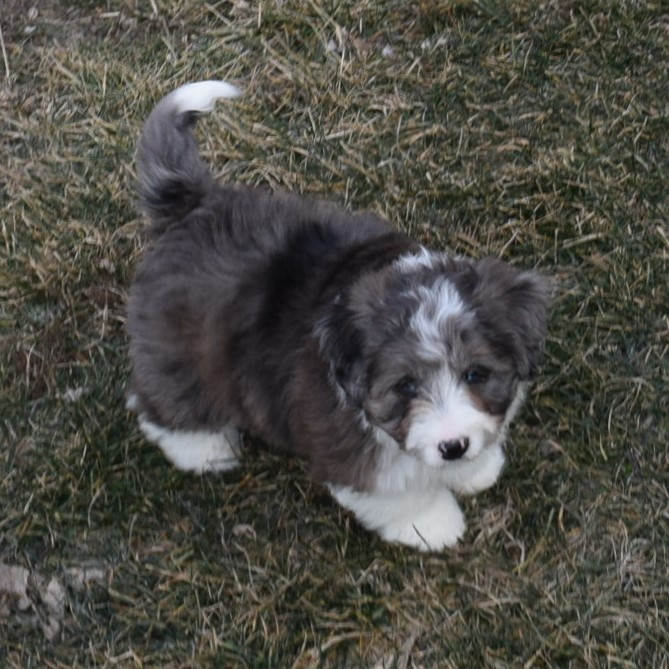 All Adopted F1 Miniature Bernedoodle Puppies Grace Oreo