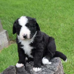 Bernedoodles & Bernese Mountain Dogs of the Open Prairie