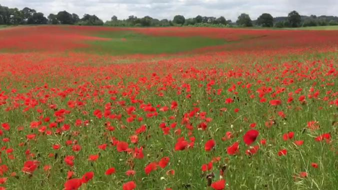 Red poppies in a field, illustrating my poem Flanders Remembrance