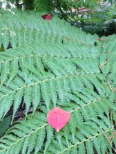 Bleeding heart leaf on a treefern Cyathea Cooperii