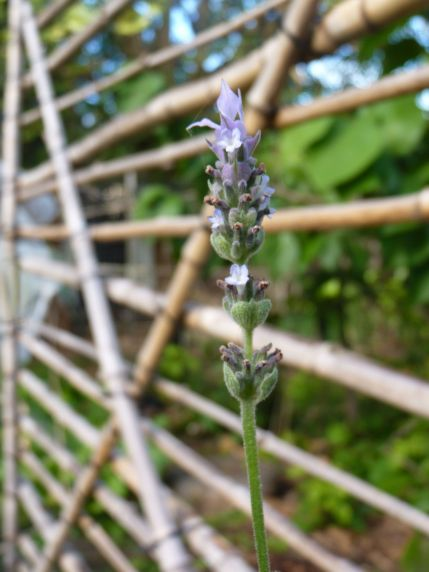 """Frenchette""from my lavender hedge, in front of the garden gate"