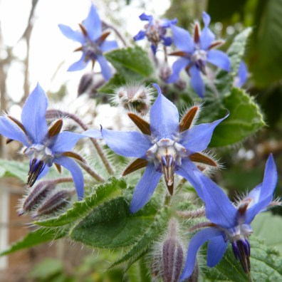 Borage closeup