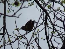 Bowerbird silhouette