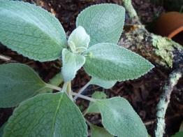 Plecanthus argentatus