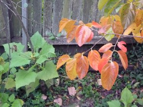 Yacon leaves alongside the autumnal persimmon