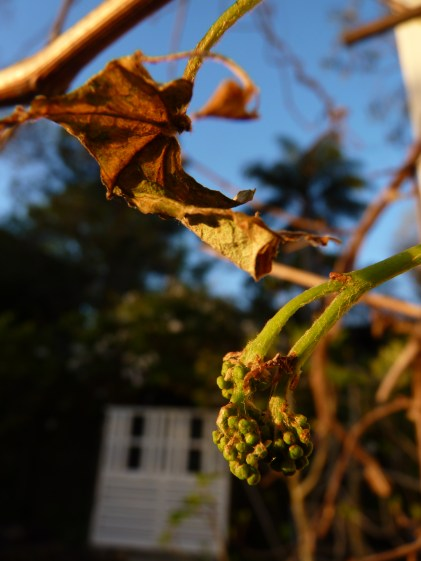 Sad looking proto-grape bunch severed from the vine