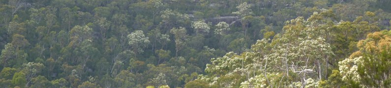 Angophora costata in bloom seen from Berowra train station