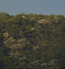 Angophora costata in Hornsby Heights