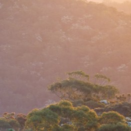 Angophora in a November sunset