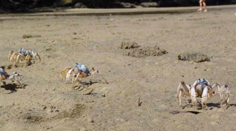 Light blue soldier crab, coming to get me