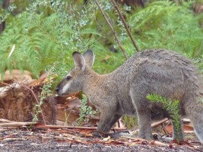 "A whiptail wallaby (or ""pretty faced"" wallaby as fellow kangaroo mafioso prefer to refer to it)"