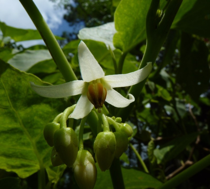 Tamarillo flower in spring