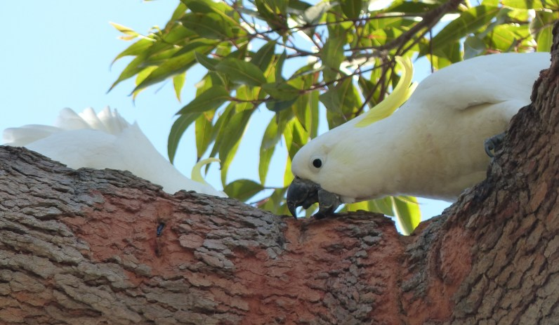 Sulphur crested cockatoo eating a tree... with added bug?