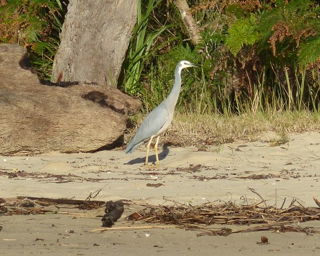 Contractual obligation white-faced heron