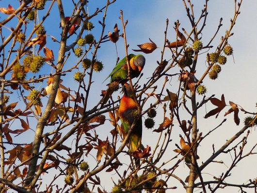 Rainbow lorikeets in the bare liquidambar
