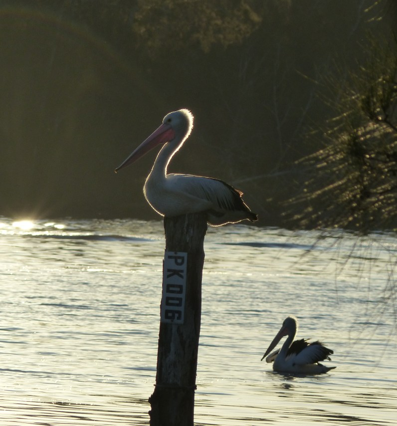 Pelicans on the Wyong River in late afternoon