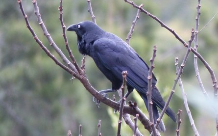 Australian raven in a fugue... or looking out for newly laid eggs