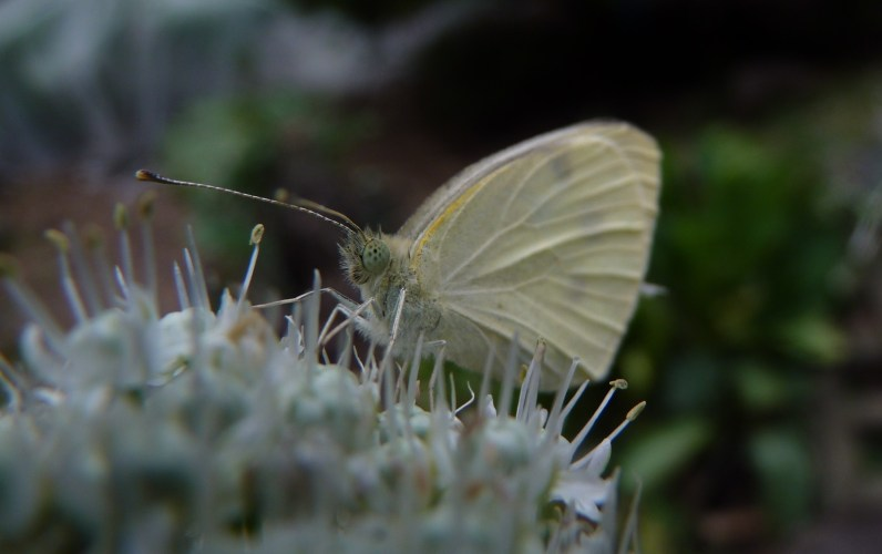 Confused cabbage white butterfly on a shallot flower