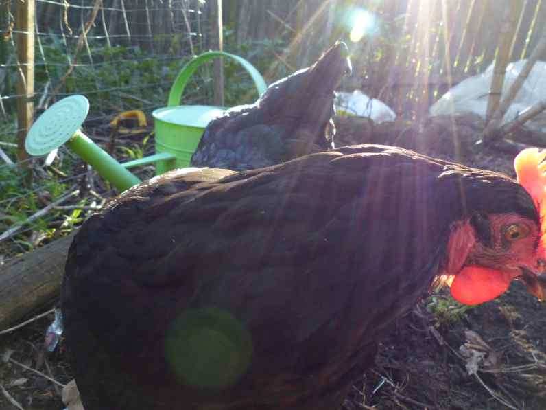 Light filtering through a chickens' comb...